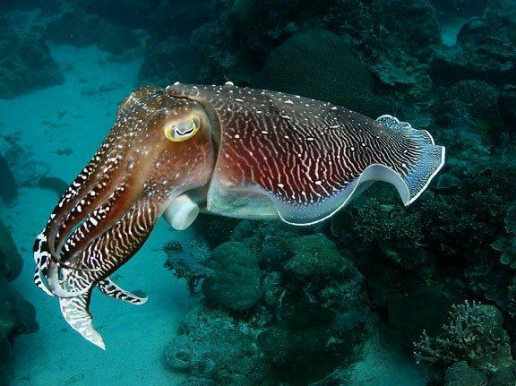 cute cuttle fish - HD1200×898