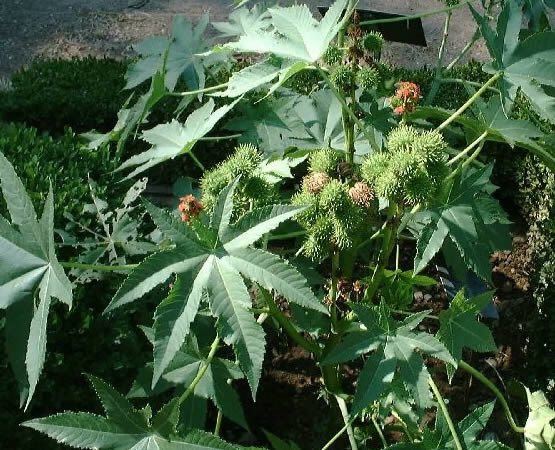 """فوائد طبية مذهلة لزيت """"الخروع"""". CfSMfz2WAAAB7Hj.jpg"""