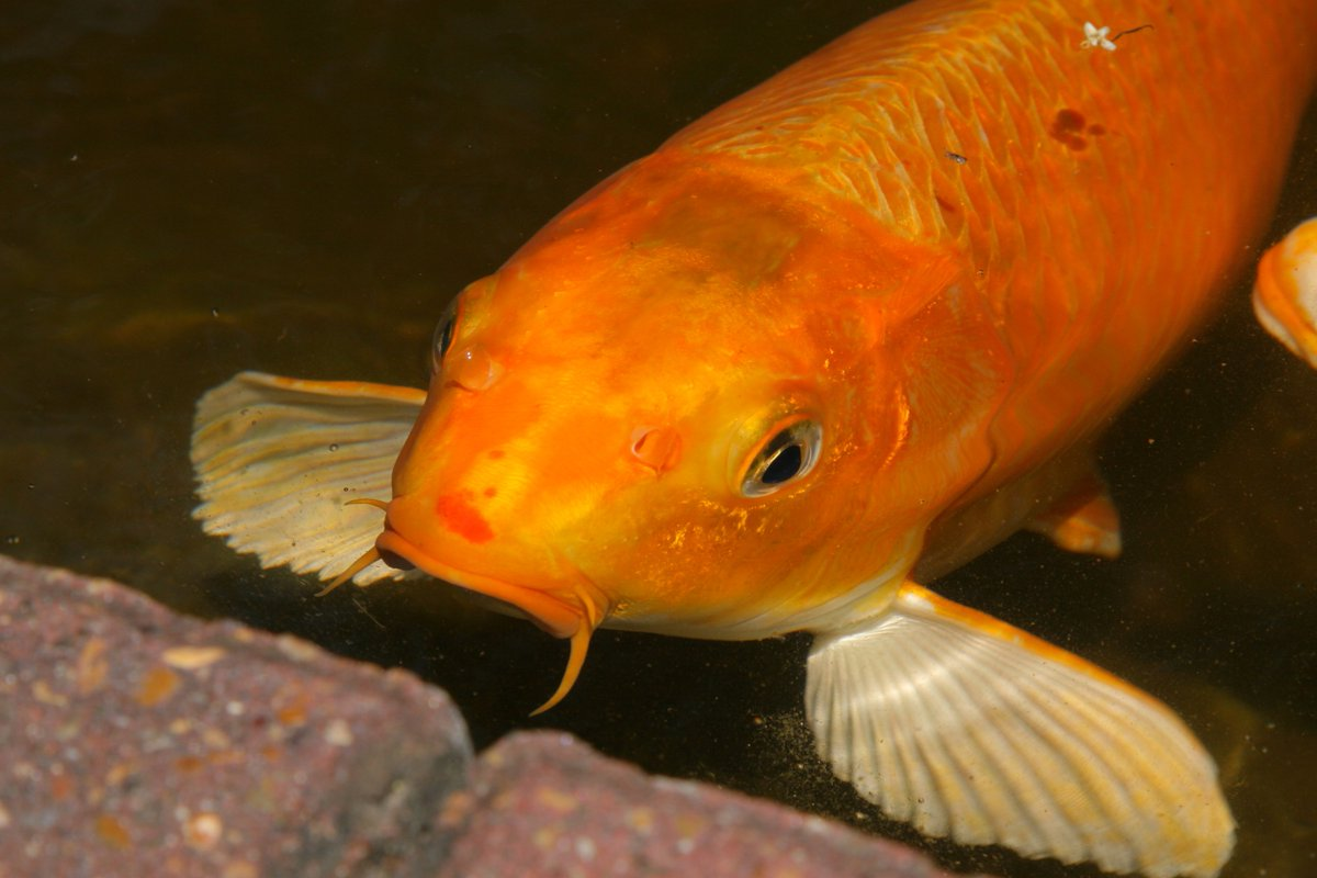 Petco on twitter spot the difference didyouknow koi for Petco koi fish