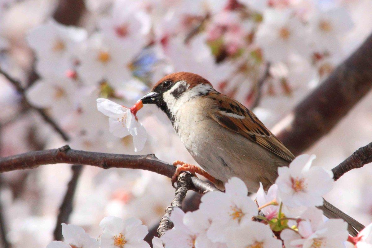 桜の花が、花ごとポタポタ落ちてくるので、上を見るとスズメがいたずらしていました。スズメは、こうして花をまるごと摘み取って、根元から蜜を吸います(^O^) pic.twitter.com/BxKDkaolO4