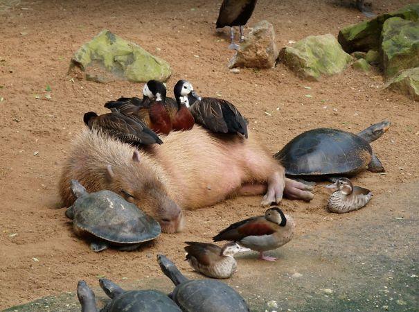 鳥、猫、カメ、ワニなどなど、なんで動物たちはみんなカピバラが好きなの?という写真わんさか。カピバラが持つ社会性に着目した記事。boredpanda.com/capybara-unusu… pic.twitter.com/aPIzXJPvrA