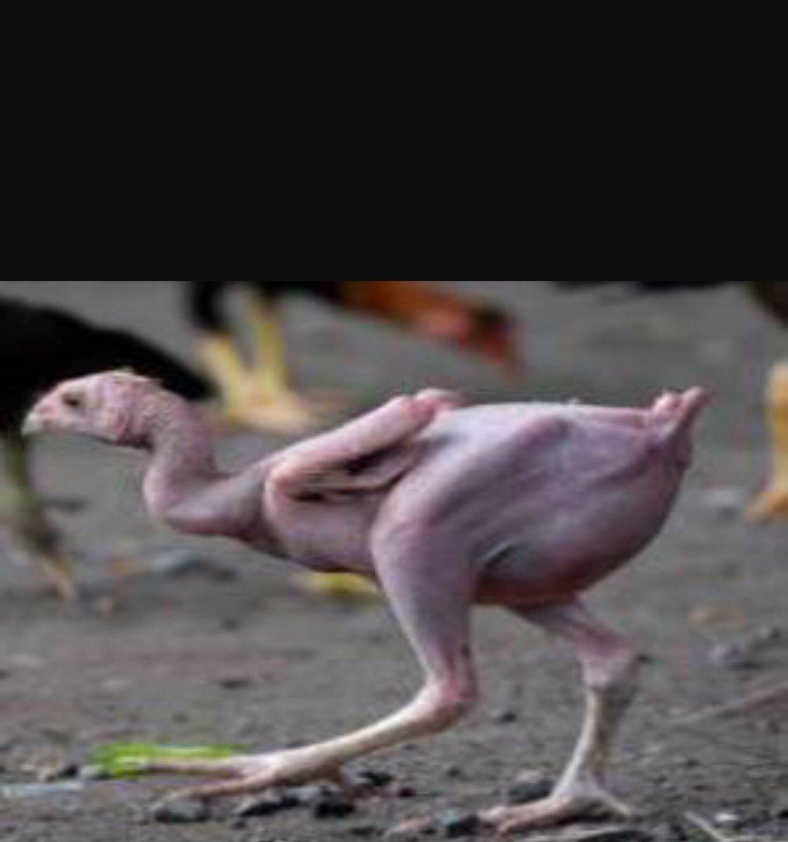 Image result for دجاج بدون ريش
