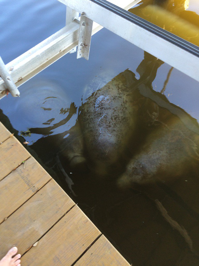 3 manatees stopped by to visit under my dock. Always a nice springtime treat!! https://t.co/jn1C160ZWD