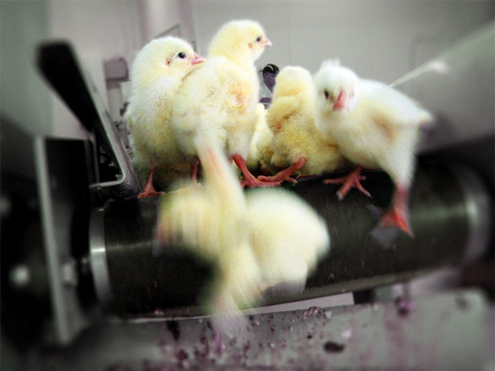 In the egg industry, millions of male chicks are suffocated or dropped into macerators which grind them up alive https://t.co/S49iNUoLO5