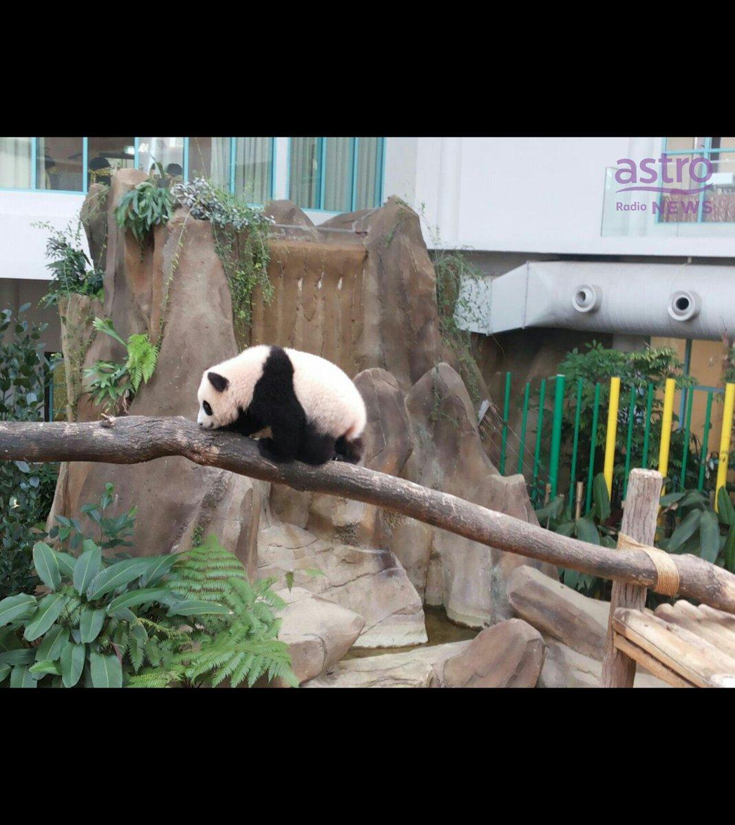 Astro Radio News On Twitter Gambar Koleksi Gambar Anak Panda Nuan Nuan Bersama Ibunya Semasa Pengumuman Nama Haiwan Tersebut Di Zoo Negara Https T Co 4dxkvaj3sm