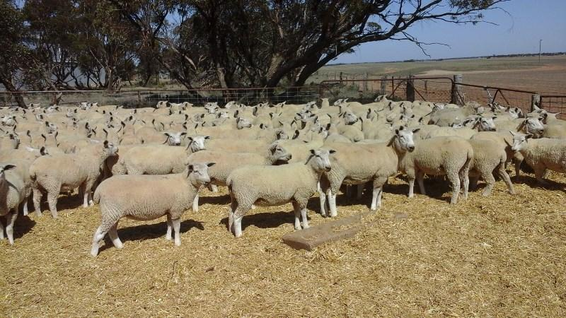 Cashmore Oaklea ewes Nice line of 300, joined 48 kg ewe lms sold  Auctions plus yesterday to Tasmanian for $163. Jk