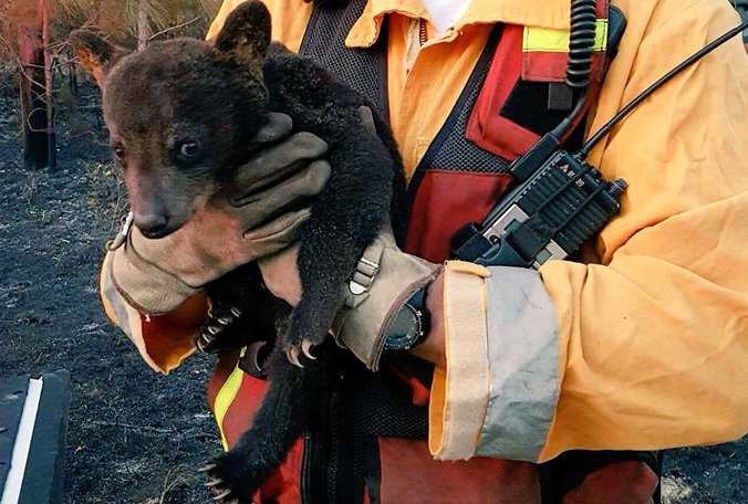 This cub was rescued from the Lake County brush fire. It has been nicknamed Smokey Jr.  https://t.co/FiKTmE9gdZ https://t.co/SHiZl1u12S
