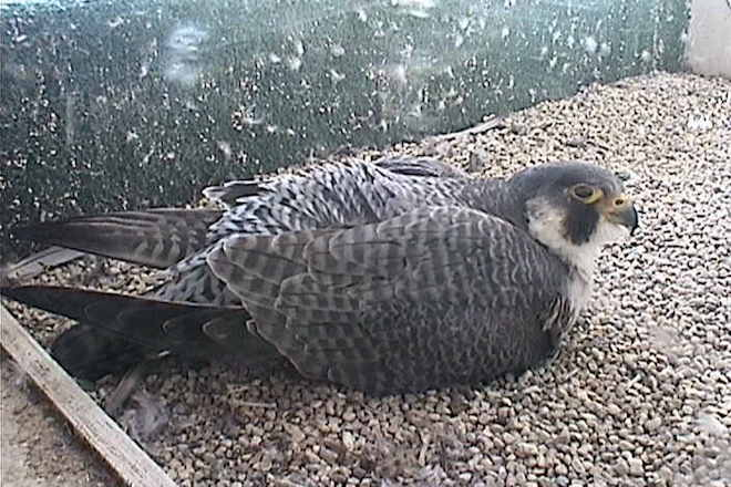 Five Peregrine Falcon nestcams worth watching this spring. 15 eggs and counting! https://t.co/ePCe6MGzRw https://t.co/vtUZhuNsOB