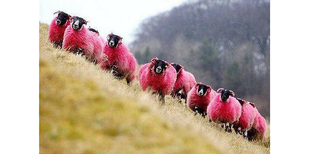 Don't these pink sheep make you smile? Thanks @vogueknitting for the ray of sunshine! #cuteanimals #wool #yarn #knit https://t.co/A4LPKNH3tn