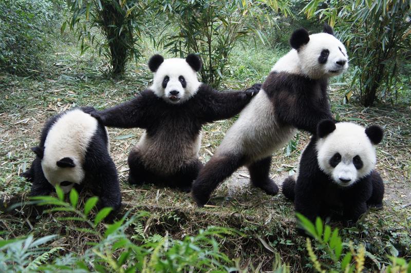 Rüyada Panda Yavrusu Görmek Sevmek