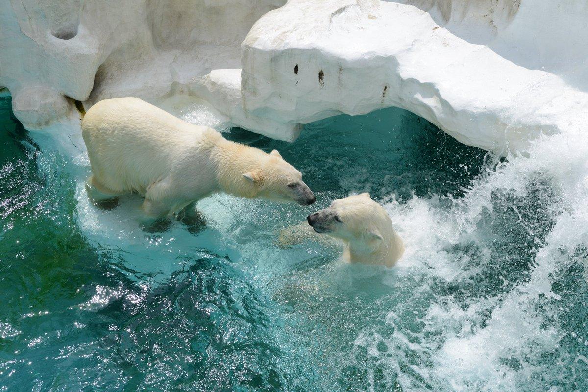 休園日ですが、ホッキョクグマ「イコロ」と「デア」のお見合いを放飼場で行ないました。じゃれあったり、一緒にプールに飛び込んだりとてもいい雰囲気。30分間ぐらいで終了しましたが、「後は若い2人にまかせて・・・フフフ」という感じです。 pic.twitter.com/3B7kMaB2ab