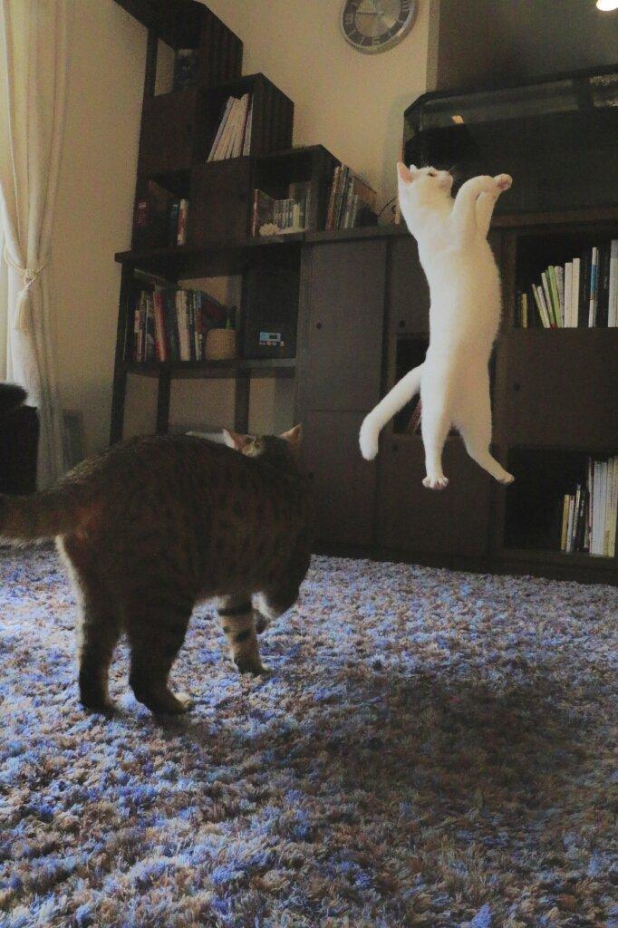 猫だけど、猫背じゃないミルコ。 pic.twitter.com/fiQBmwyT1K
