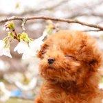 愛犬をつれてお花見♪写真を撮ると時はプロの顔をするワンちゃんが可愛すぎると話題に!