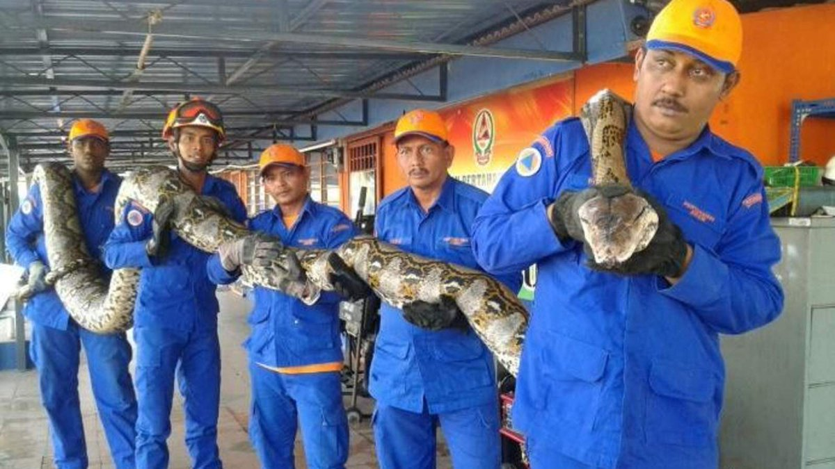 26-Foot Reticulated Python Captured (a record) CfwuDdpWEAAJXxj