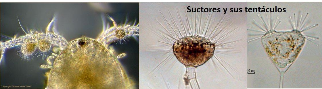 Muchos protistas son móviles, otros están fijos al sustrato, como los suctores que no tienen boca! #microMOOCSEM https://t.co/gDA472MpfL