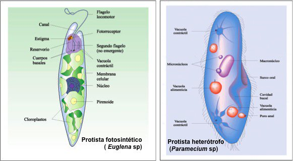 Protistas: unos son fotosintéticos y tienen clorofilas;  otros son heterótrofos #microMOOCSEM https://t.co/CIEAAXhp9I