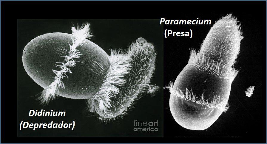 Protistas que se alimentan d células (bacterias, levaduras, otros protistas): boas en vez d microbios! #microMOOCSEM https://t.co/JplPfI6tyv