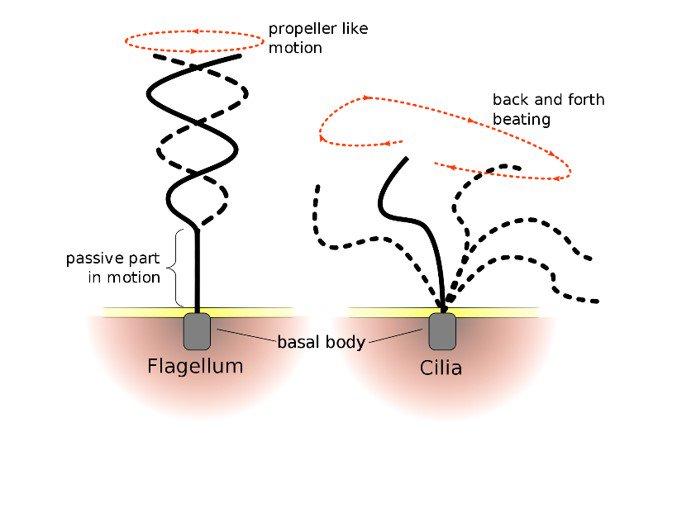 Recuerda que cilios y flagelos tienen la misma ultraestructura, pero se mueven de manera distinta #microMOOCSEM https://t.co/Qnv3IQPszN