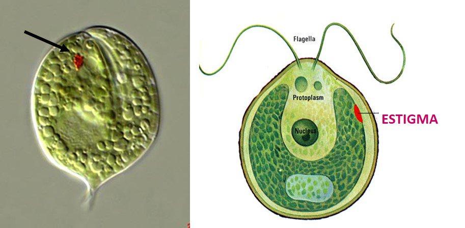 Protistas fotosintéticos flagelados con estigma, orgánulo fotorreceptor, para orientarse hacia la luz #microMOOCSEM https://t.co/J7ysDPifOy