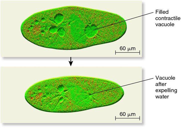 """Vacuolas contráctiles regulan presión osmótica y eliminación de residuos, a modo de """"minirriñones"""" #microMOOCSEM https://t.co/gff26zff3T"""