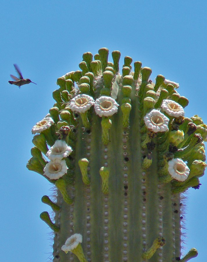 Did you know? A saguaro blossom opens only once and for less than a day. https://t.co/bTwscG9Bjf