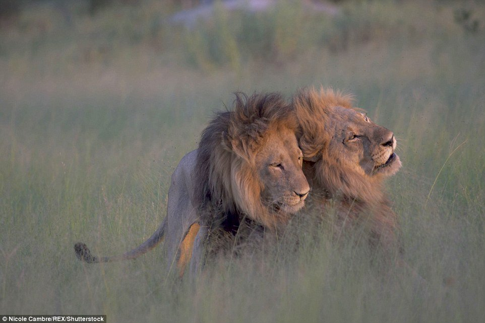 Two male lions spotted mating in safari park after ignoring pregnant lioness