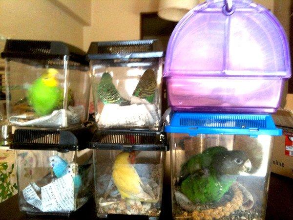 【緊急避難時の小鳥】プラケース・エサ・水・タオルを用意しておく。タオルで暗くしてバッグに詰める。マチのあるバッグを用意しておくと十羽のインコがいても二つのバッグで移動できます。写真を参照。 https://t.co/VFQ1xkqOAC