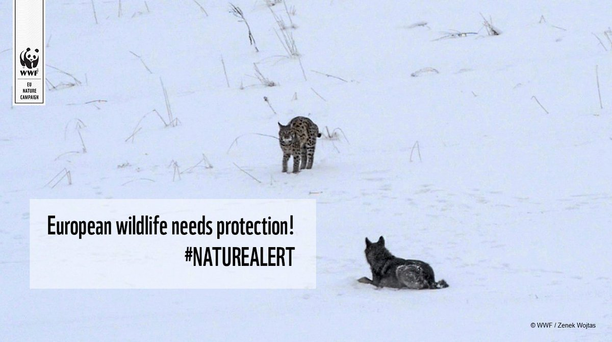 Wildlife is back in Europe!   What happens when two endangered species meet?  #NatureAlert  https://t.co/uYWtn644C9 https://t.co/GvUseBckB6