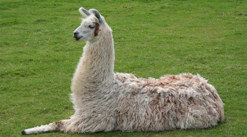 JUST IN: 2 llamas on the loose in Chesterfield https://t.co/r52GZ9Uh6v #LllamaDrama