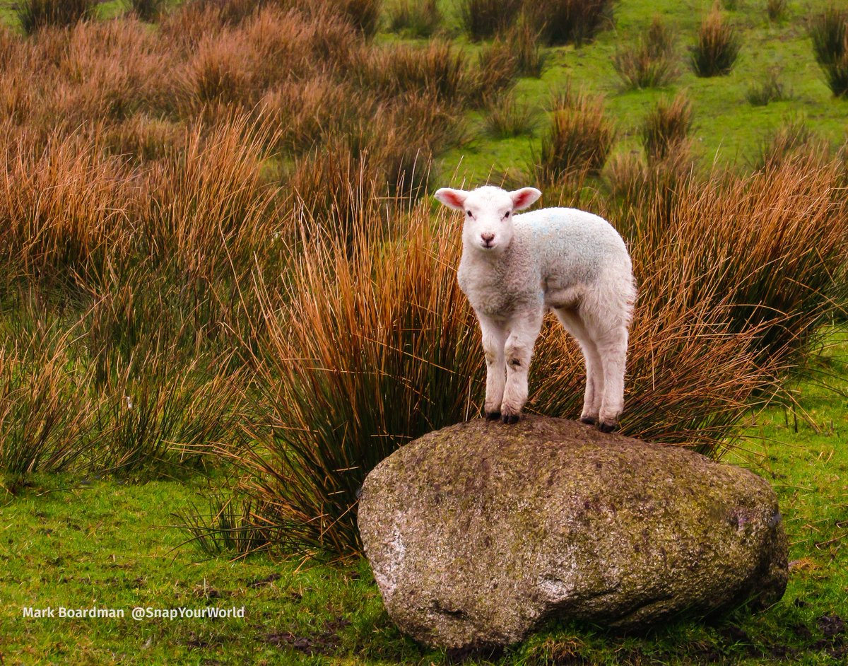 A better view. A lamb on a rock this afternoon #Macclesfield #Photooftheday https://t.co/J3n27heVDx