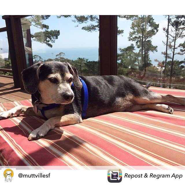 Billy will show you why senior dogs rule ❤️ meet him at @Muttville #SFBayArea  #OptToAdopt https://t.co/BDZ5y5dCqv