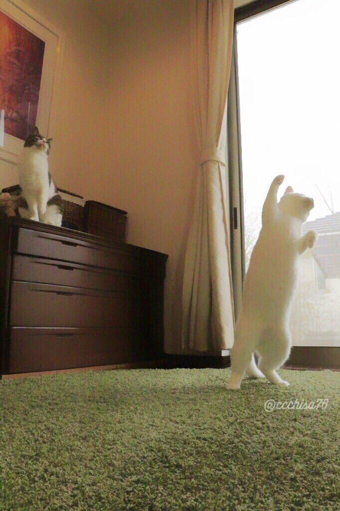 こんな時に猫なんて不謹慎。とお叱りを受けるかもしれません。でも「地震の不安で辛い時。写真見て笑えて癒された」と言ってくれた方がいます。  みんなが笑顔になれる日を願い「元気なミルコ」と「弾けたピーちゃん」アップします!