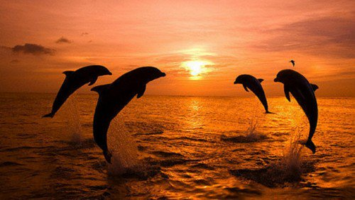 Animalsimage On Twitter Look Dolphins Jumping In The Sunset Making