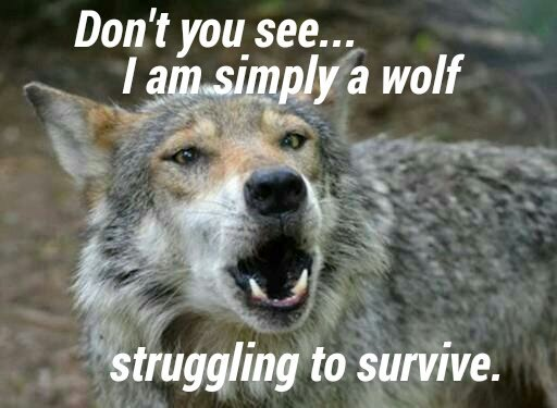 Allowing #Wisconsin wolf trophy hunting and trapping at any level could have dire consequences, at this, now surpassed, excessive level of 200 #wolves will prove indefensible and likely catastrophic, @WDNR @GovEvers #WIwolves https://t.co/PclzYnJEyF