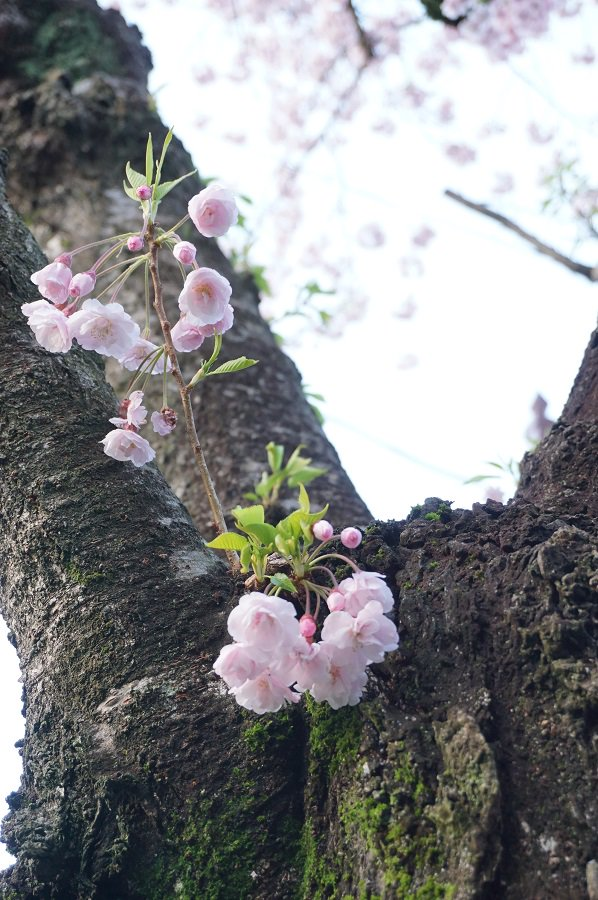 さまざまな桜が楽しめる塩竈の街。ソメイヨシノやエドヒガンは散ったけれど、これからが本番の種類も。写真は、杉村惇美術館にほど近い御釜神社にある、今が満開の熊谷(クマガイ)という八重咲の一種。マメザクラとエドヒガンから生まれたそうです。 https://t.co/mrISalDTW6