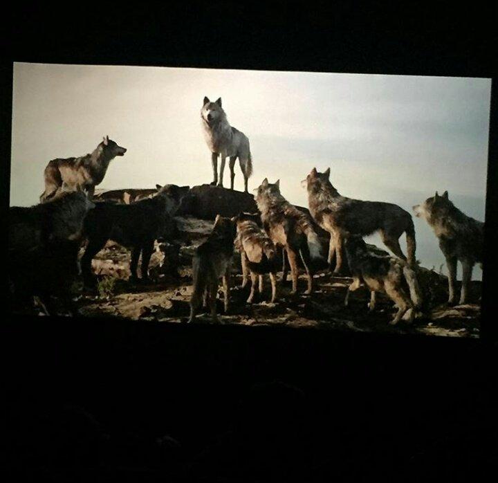 фото койоты и волка