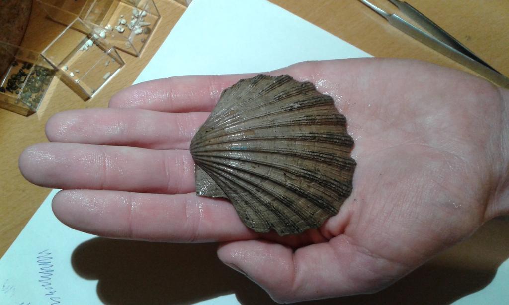 Schitterende grote pecten uit het miocene zand boven de boomse klei #fossiel https://t.co/rYSqBGZz1t