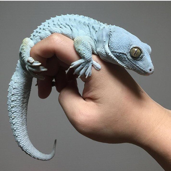 This is a nice gecko! https://t.co/J9ClHpGQdn