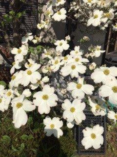 今朝、我が家の庭の穴ミズキの花が満開になりました 朝日に光って美しかったです 九州の復興を願って送ります・・・・ https://t.co/1s7d5KzDGw