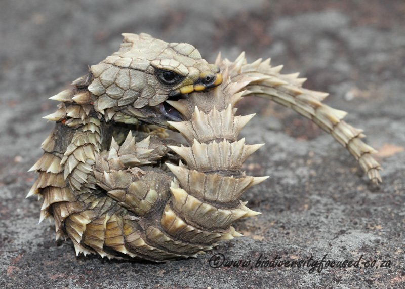 """Featured Creature on Twitter: """"The armadillo lizard uses ..."""