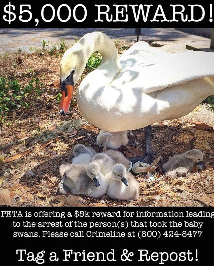 @PETA offering $5k in reward money for someone who can help find 6 stolen baby swans. So sad. Please SHARE! #FOX35 https://t.co/EJuV2j6Jvd