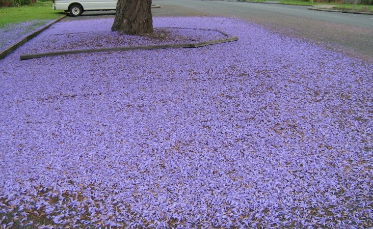 Jacarandas in LA are raining purple. https://t.co/J9UE7ifh3T