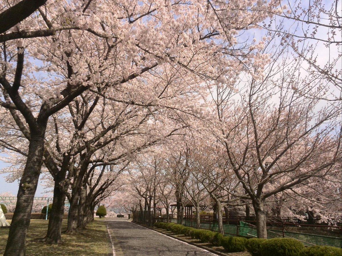 桜満開だよ~♪花吹雪でとってもキレイ(*^^*)@青森県八戸市、八戸公園 https://t.co/Mp7FLUoM6m