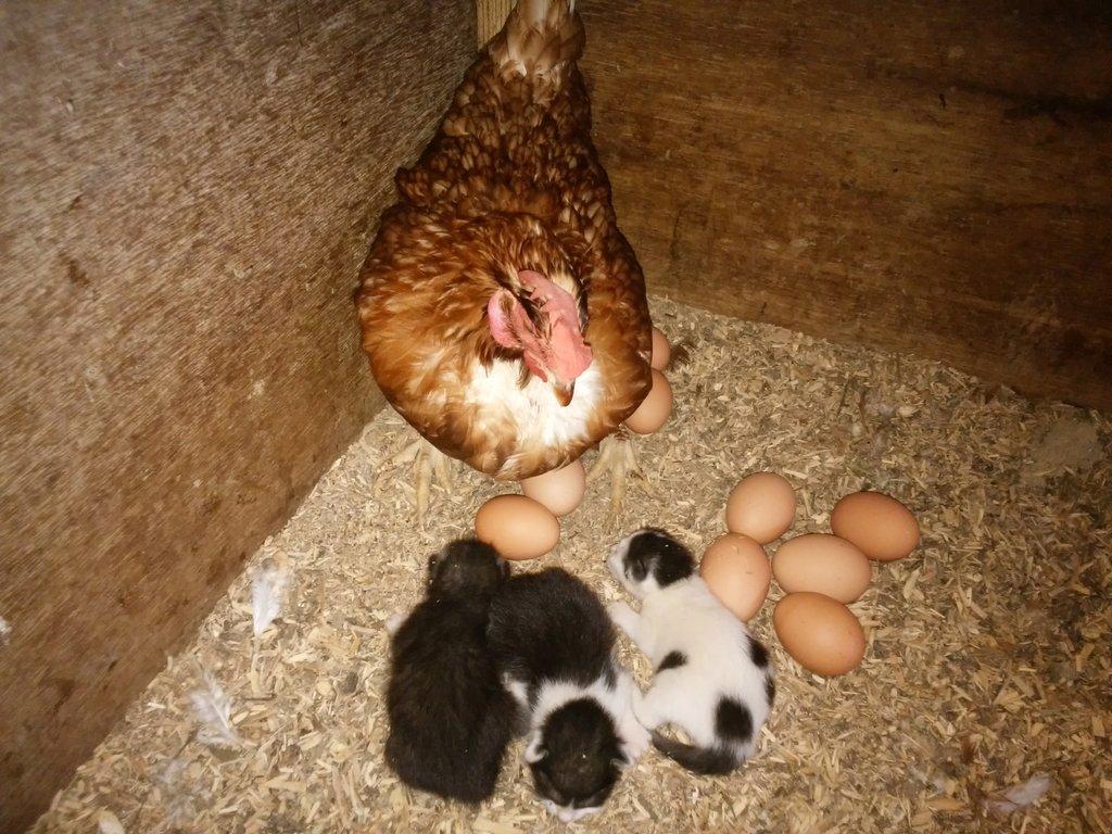 数日前鶏舎の産卵箱に 仔猫が3匹産み落とされていました 鶏は他の侵入者には攻撃しますが 何故か仔猫には優しく 卵と一緒に温めています 親ネコは夜に乳を与えてるようで、仔猫はすくすく育っています 暫くこのまま様子を見ようかと思います