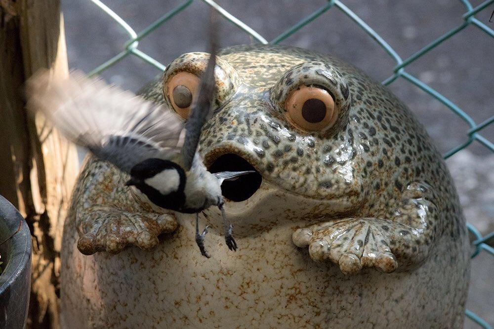 鎌倉、材木座。猫というよりネズミの額ほどの庭、カエルの置物の中に、シジュウカラが巣をかけました。ヒナの声が聞こえるようになってきた! 親鳥さんたち大忙し!