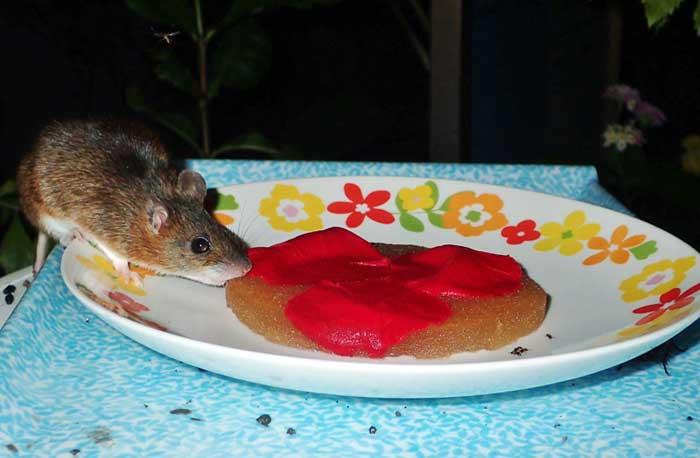 多摩動物公園の昆虫生態園で、チョウのために設置した蜜皿のスポンジが囓られる被害が相次いだ。スポンジには蜂蜜を10倍に薄めた液体が染みこませてあるという。自警のために飼育係が夜間撮影装置を設置したところ写っていたのは…アッ pic.twitter.com/PgvYaQFjtd