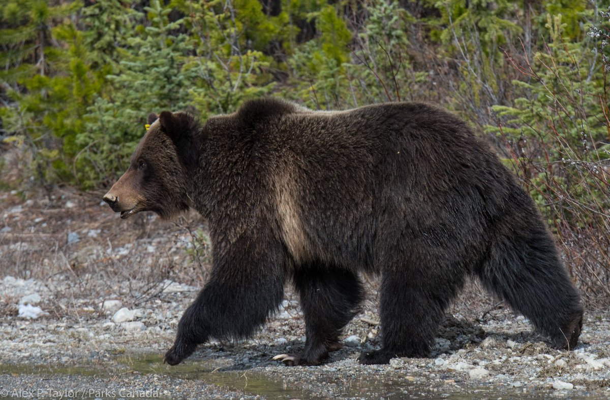 She's a beauty. Please give Bear 138 more space than you think she needs while she frequents the Lake Louise area. https://t.co/p2NpUWxXFr