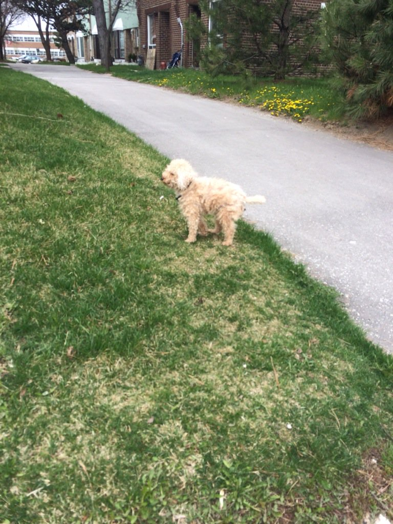 Anyone missing a small white dog in the Jane/Finch area? Seen on Jane. Afraid, barking, ran away. Pls RT. https://t.co/A5OUbtDSvp