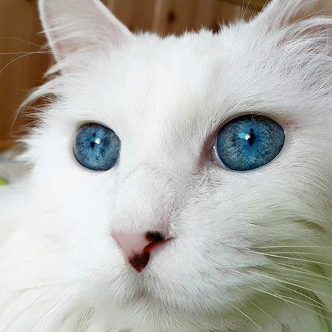 """「トルコの生きる国宝」と呼ばれるニャンコの瞳が、 """"水晶のように美しい""""と話題に…!(画像5枚) https://t.co/HSuHets4mv https://t.co/KNcNsLHZM5"""