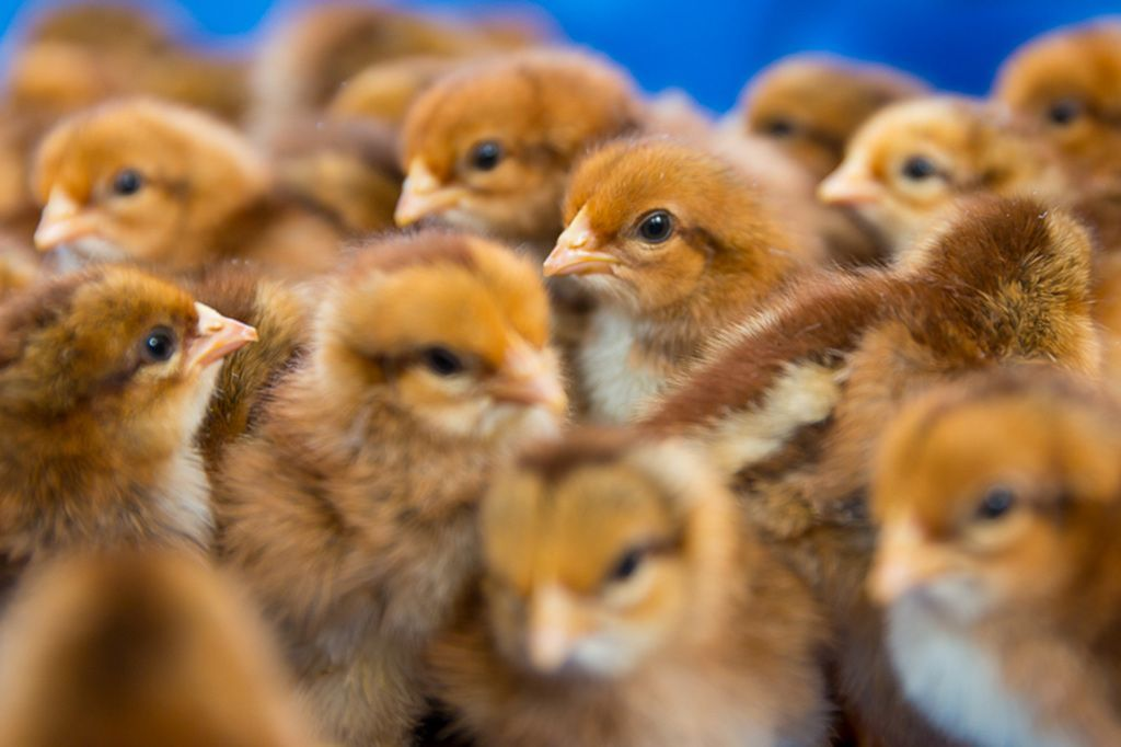 It's such a gloomy day. These photos of baby chicks on a local farm will cheer you up.